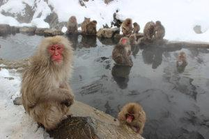 monkeys lounging in hot springs in Japan