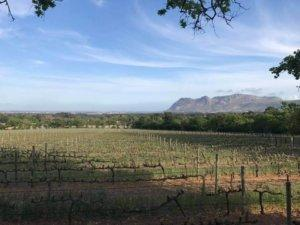 rows of grape vines and the mountains in the background in South Africa
