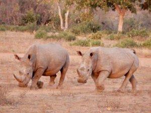 two rhinos running