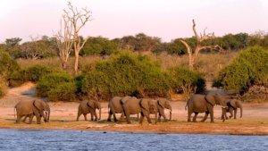 Elephants along the river, Botswana safari