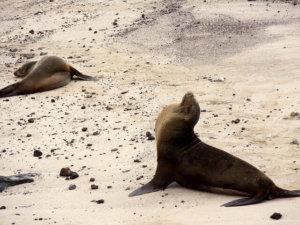 seals playing on beach in Galapagos