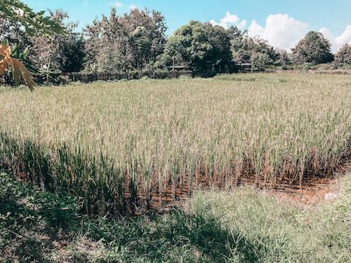 Thai Farm Cooking School farm