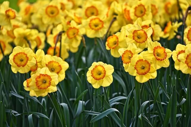 Daffodil in Yorkshire