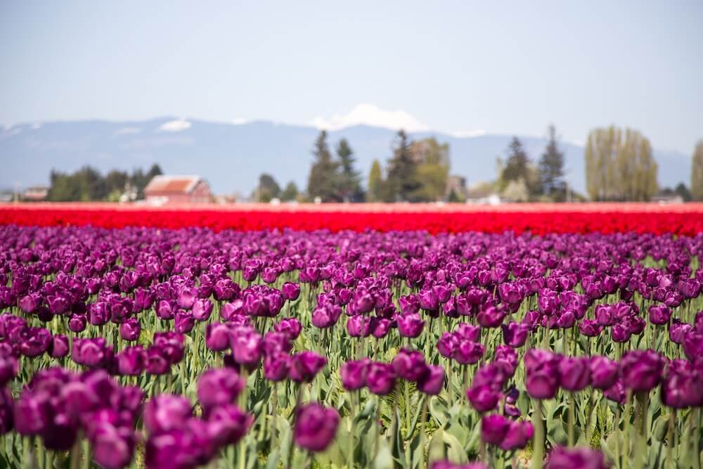 Skagit Valley tulips 25 Destinations to Travel to this Spring