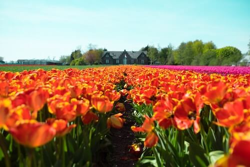 The Netherlands Tulips