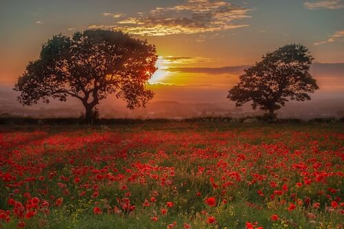 Tuscany poppy fields