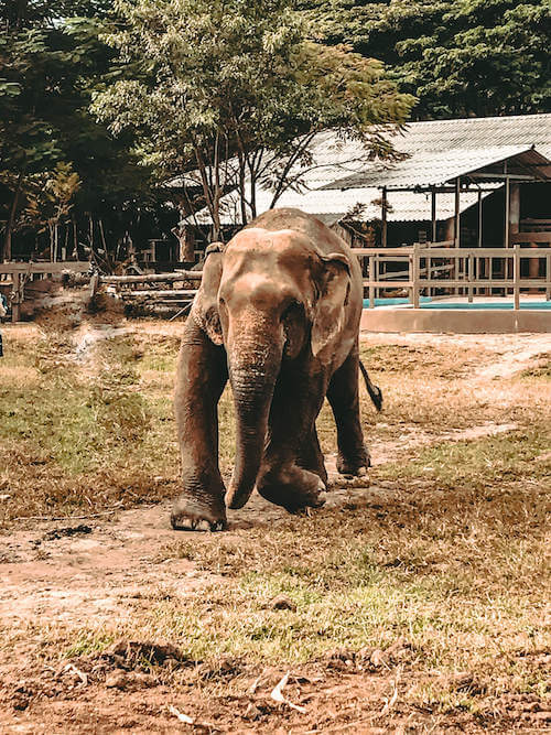 Disabled elephant at Elephant Nature Park