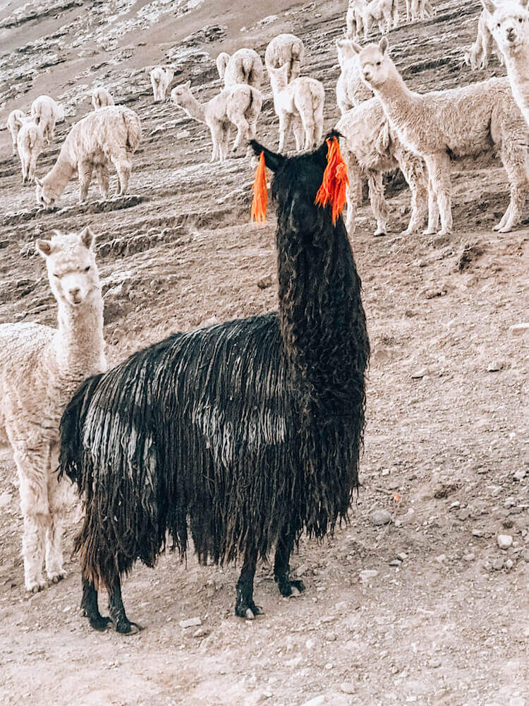 Black llama with orange earrings near Rainbow Mountain, Peru