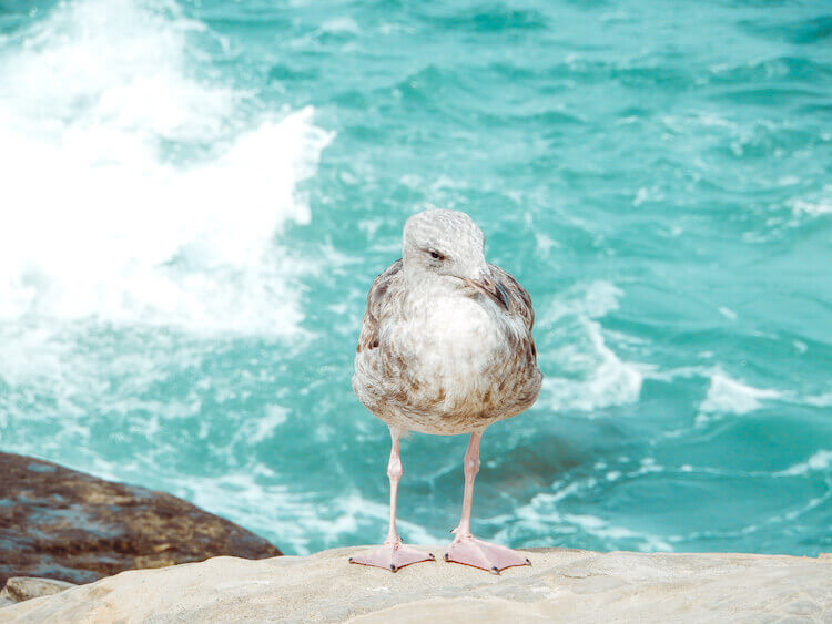 Close up of a sea gull perched on a rock with ocean in background