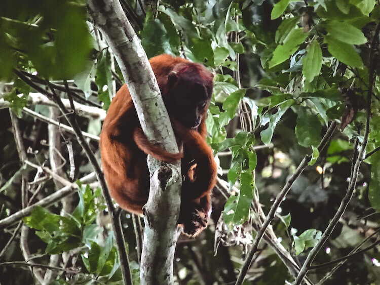 Howler monkey at Tambopata National Reserve, Peru - Peru itinerary