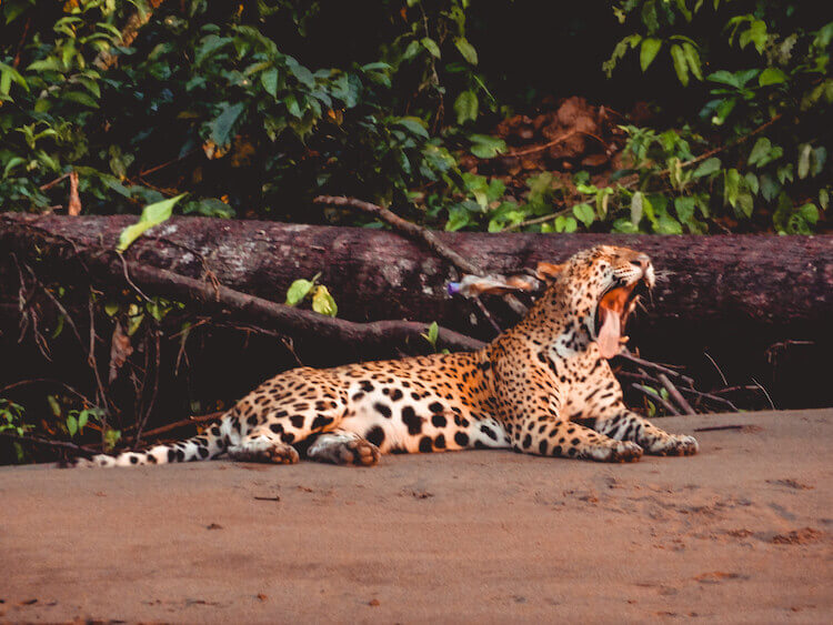 Jaguar yawning along the Tambopata River in the Amazon in Peru - 10-day Peru itinerary