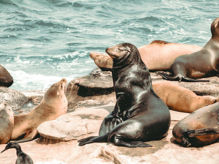 Sea Lion basking in the sun surrounded by other sea lions on a rock bluff
