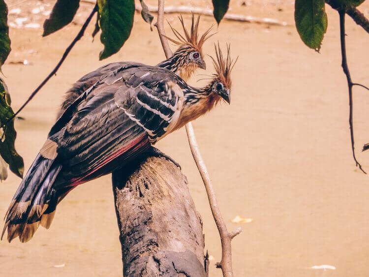 2 Hoatzin in the Amazon in Peru - Tambopata Research Center