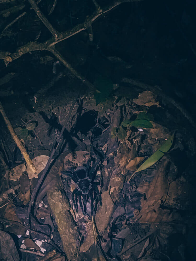 Chicken Spider outside of a hole during a night walk at the Tambopata Research Center