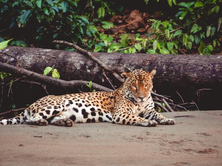 Jaguar resting along the Tambopata River