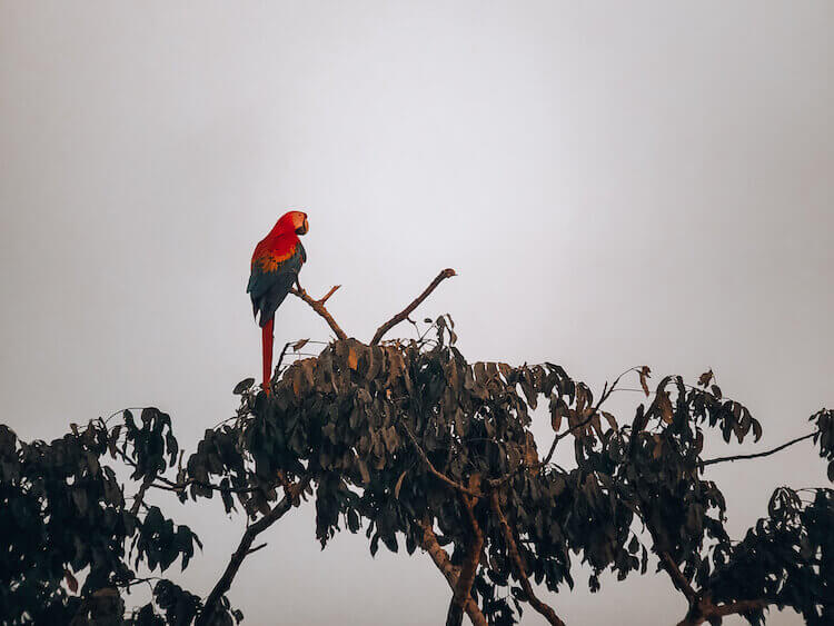 Macaw on a tree in the afternoon sun in Tambopata - Peru itinerary