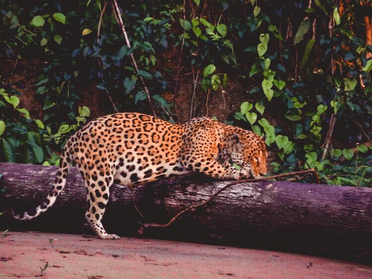 Pregnant jaguar scratching a log in the Amazon in Peru - Tambopata Research Center