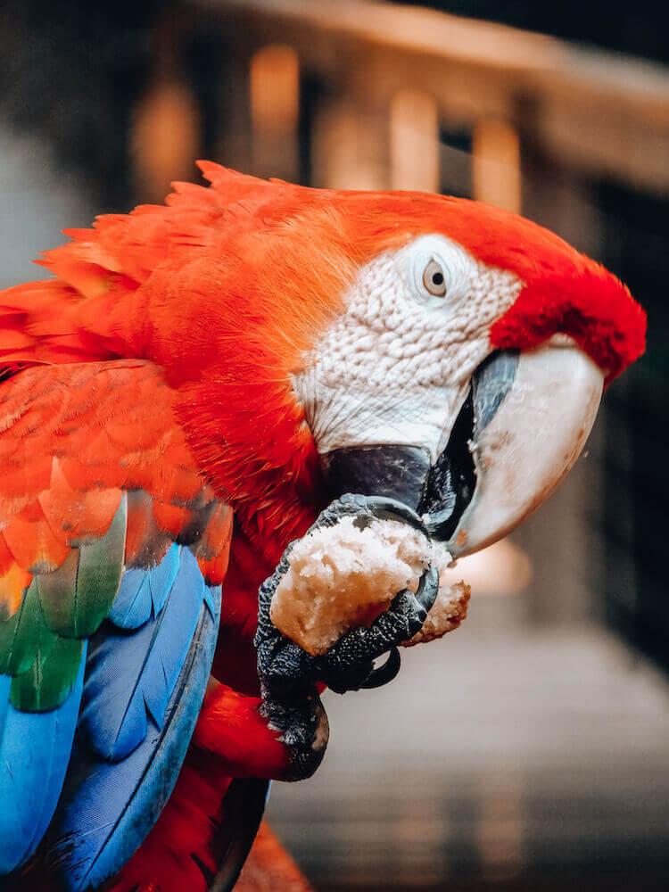 Scarlet macaw eating vanilla cake at Tambopata Research Center