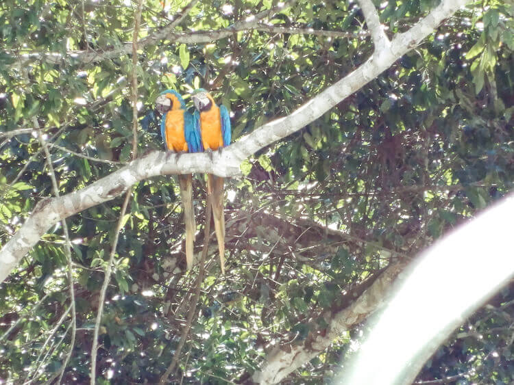 Two blue and yellow macaws in a tree outside of Tambopata Research Center
