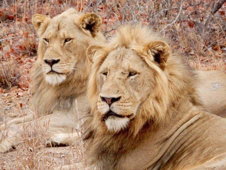 two male lions looking into distance
