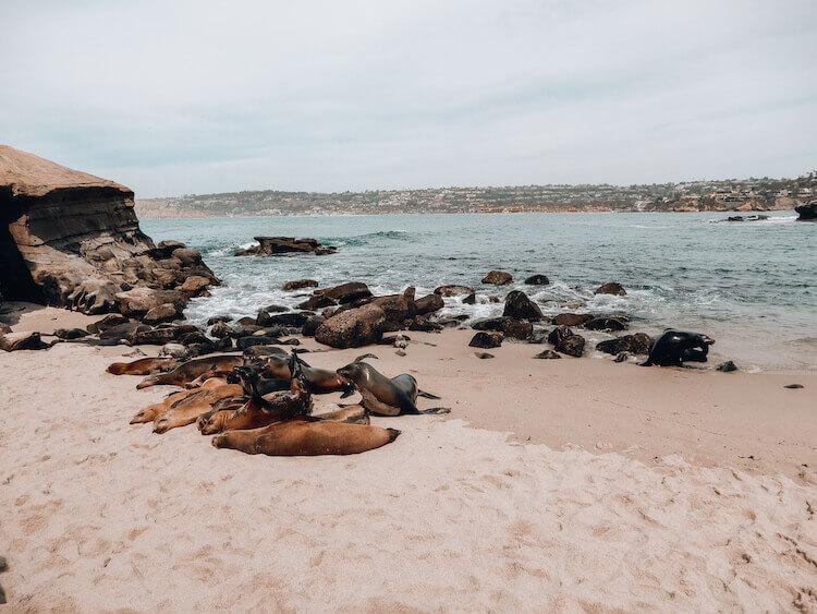 La Jolla Cove sea lions cuddling