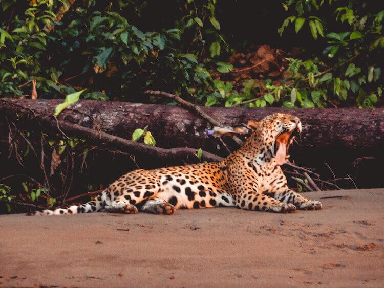 Jaguar yawning along the Tambopata River in the Amazon in Peru - 10-day Peru itinerary