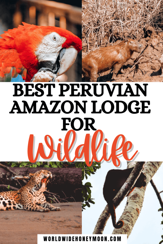 This is hands down the best Amazon lodge in Peru | Amazon Jungle Lodge | Amazon Rainforest Lodge | Peruvian Amazon Rainforest | Peruvian Amazon Plants | Peruvian Amazon Animals Rainforests | Peru Amazon Travel | Tambopata Peru | Tambopata Research Center | Tambopata National Reserve | Tambopata Peru Amazons | Amazon Rainforest Wildlife | Amazon Birds Wildlife Photography | Peru Amazon Travel Guide | South America Travel | Amazon Rainforest Itinerary