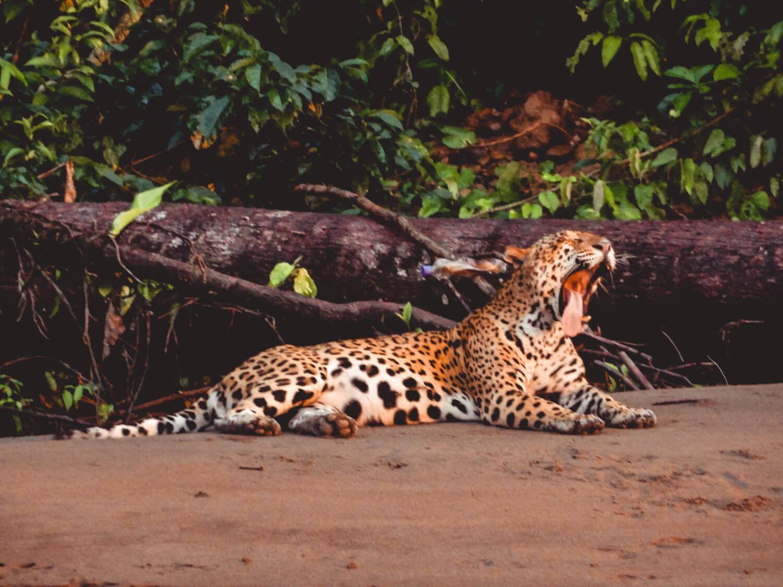 Jaguar yawning along the Tambopata River near the Tambopata Research Center
