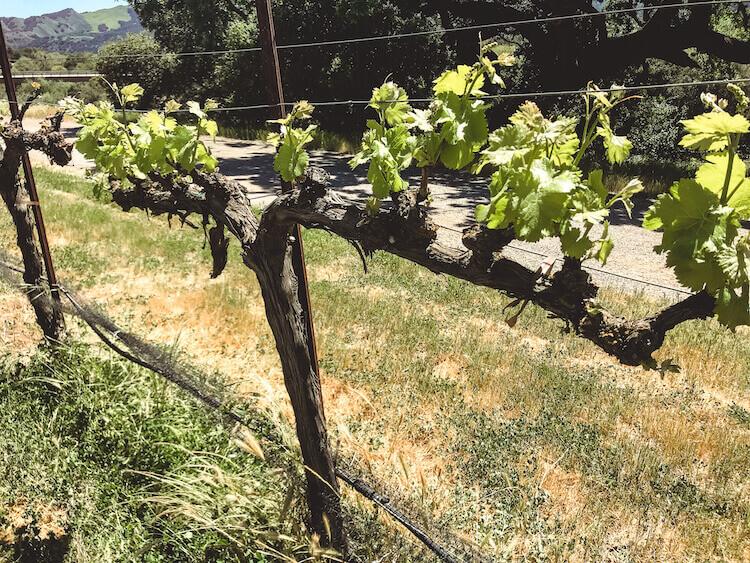 Close up of grape vine in Santa Ynez, California