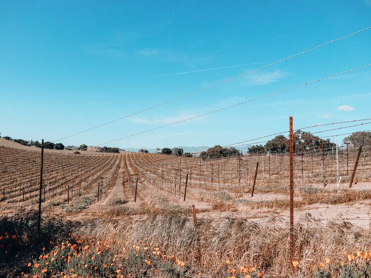 Vineyards in Santa Ynez, California