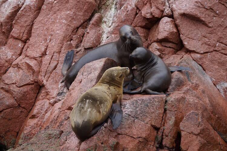 three seals on Balestas islands in Peru