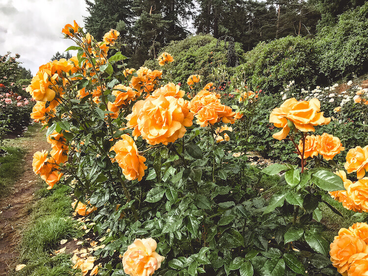 3 day portland itinerary including the rose garden in Washington Park