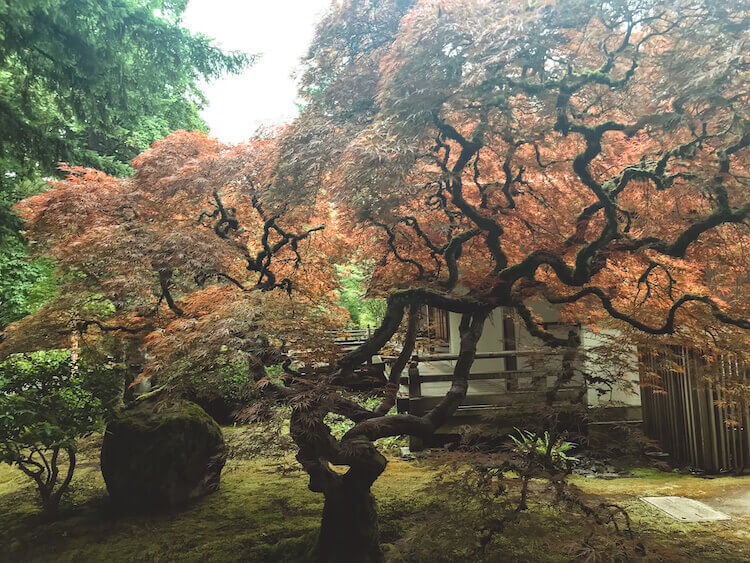 Japanese maple tree at the Portland Japanese Garden