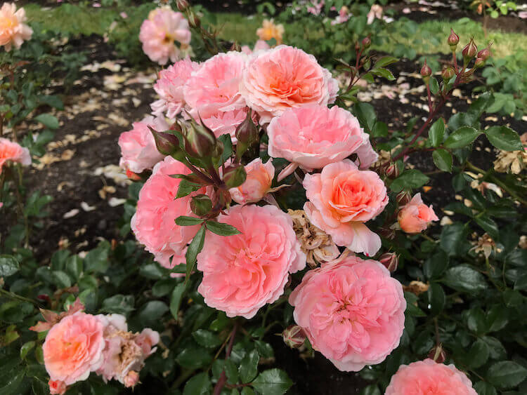 pink roses at the Intnerational Rose Test Garden in Portland Oregon-3 day Portland itinerary