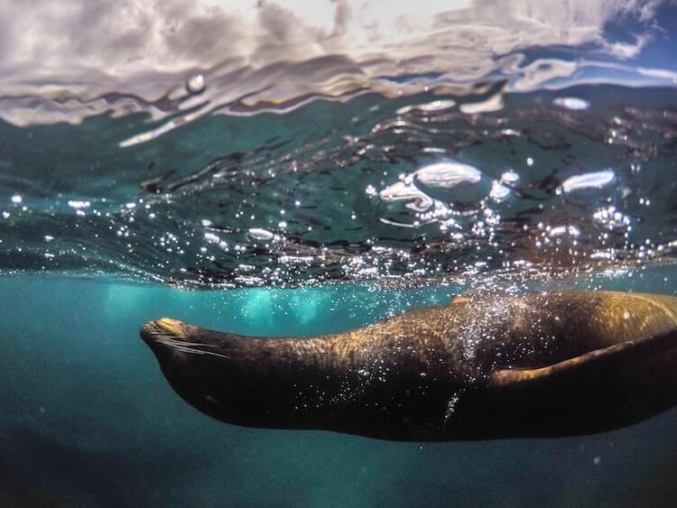 Sea lion in the water in the Galapagos