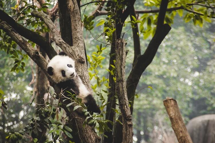 Baby Panda climbing a tree at the Chengdu Research Center in China- Best Online Virtual Tours