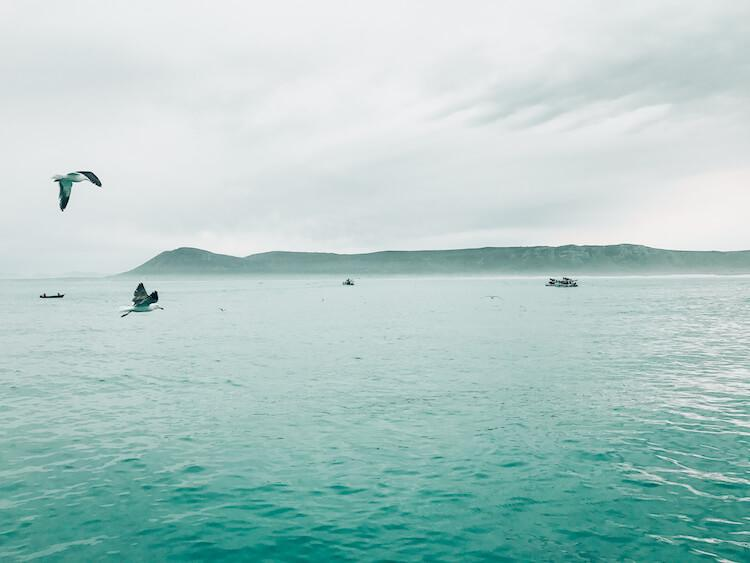 Birds flying out over Shark Alley, South Africa
