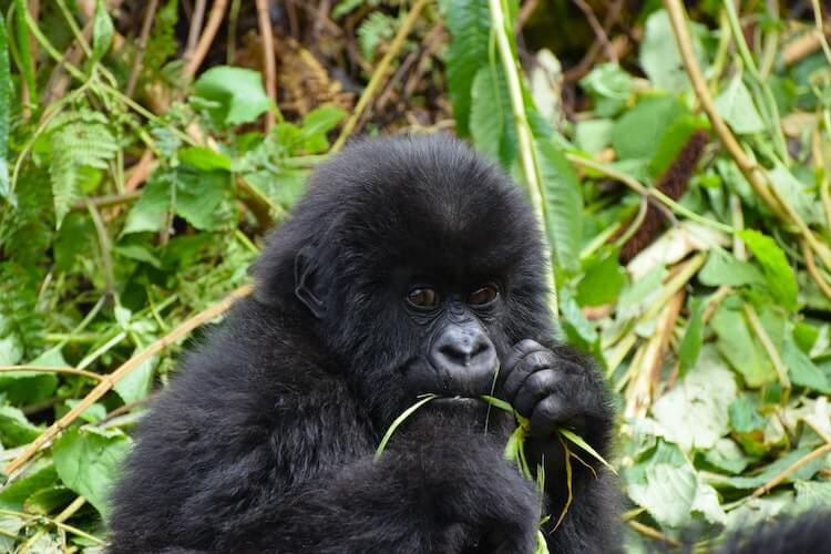 Gorilla in Uganda- Virtual Tours