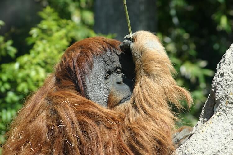 Orangutan at the San Diego Zoo- Best Virtual Tours Online