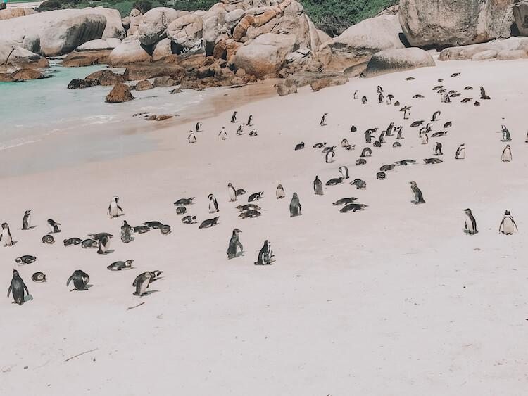 Penguin colony at Boulder's Beach, South Africa