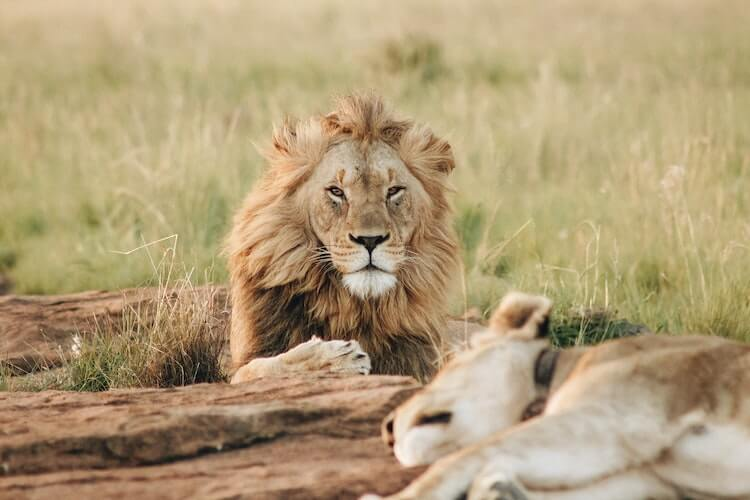 Virtual Safari in South Africa- Lions laying in the grass