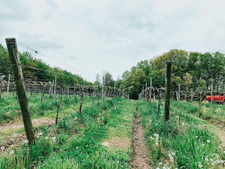 Vineyards in Northeast Ohio