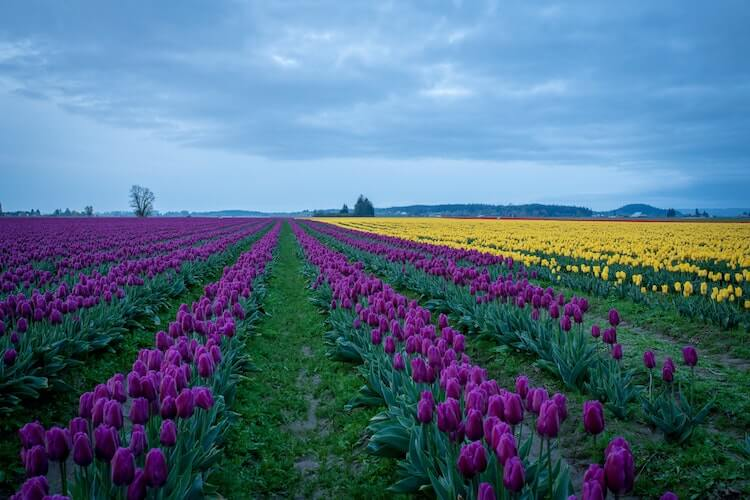 Skagit Valley Wasington looks like the tulip fields of The Netherlands