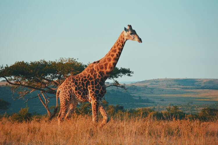 Safari in South Africa - Honeymoon in December