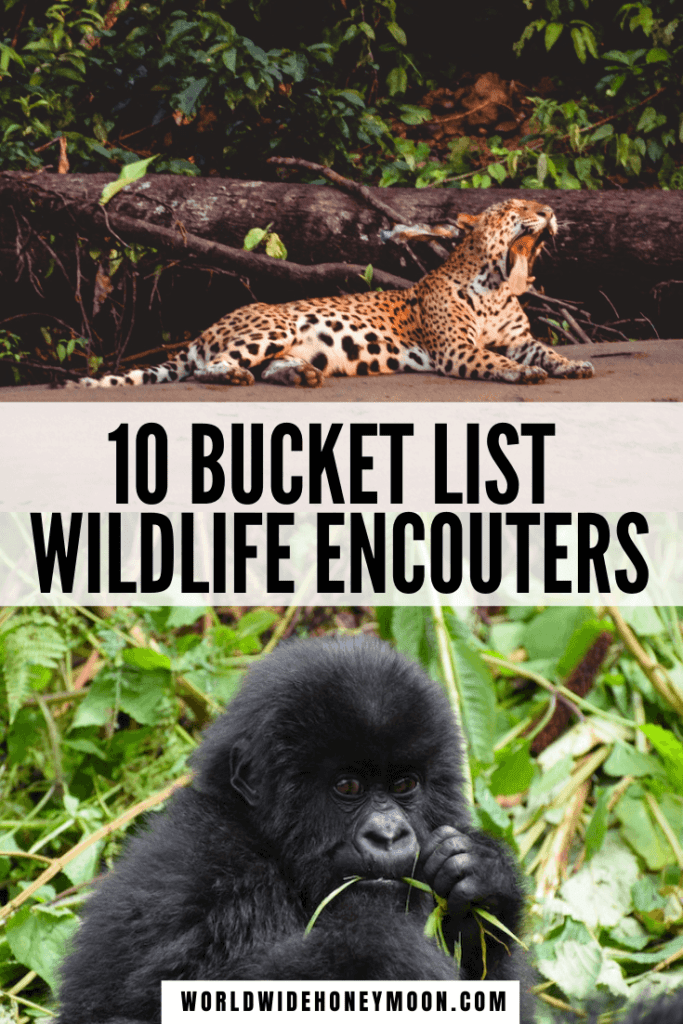 These are the top 10 Bucket List Wildlife Experiences | Wildlife Photography | African Safari Tips | Bucket List Destinations | Bucket List Experiences | Safari Tips South Africa | Borneo Travel | Animals in the Wild | Animals in the Jungle | Amazon Rainforest Animals | Amazon Rainforest Travel | Travel Photography Animals | Travel Animals Adventure | Wildlife Destinations | Wildlife Travel Destinations