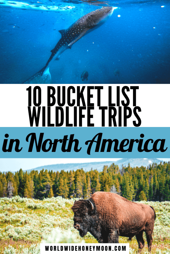 These are the 10 bucket list wildlife trips in North America | Wildlife Photography | Yellowstone National Park Animals | Animals in North America | North American Animals | Whale Shark Diving Mexico | La Jolla Sea Lions | Bucket List Wildlife | Wildlife Tours | Trips for Animal Lovers | North America Travel | US Travel | Mexico Travel | Swimming with Sharks Bahamas | Flamingos in the Bahamas | Bucket List Adventures