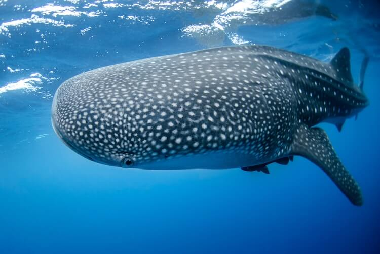 Whale shark swimming in Mexico