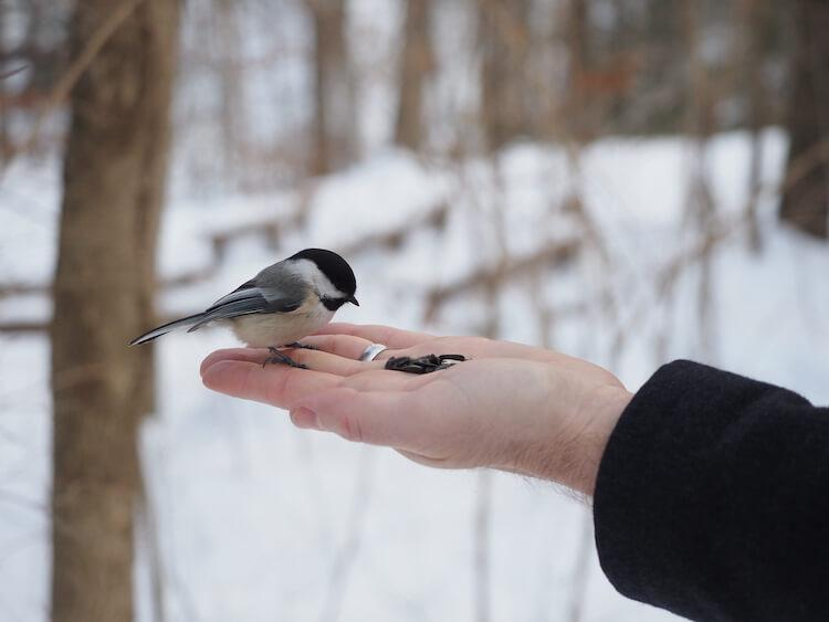 Chickadee eating sunflower seeds from Chris's hand in the winter in Cuyahoga Valley National Park