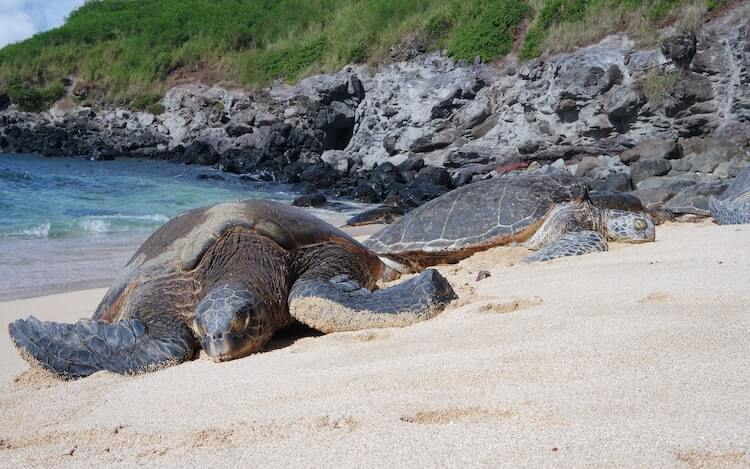 2 sea turtles laying on the beach in Maui - Honeymoon Destinations in the USA