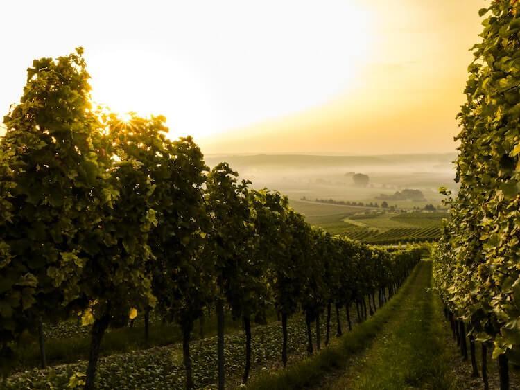 A misty sunrise over a vineyard